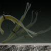 【ジャッカル】テナガエビをイミテートしたネコリグ での使用を主眼に開発されたワーム「ネコシュリンプ」通販予約受付中!