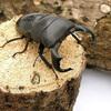 (昆虫)ダイオウヒラタクワガタ 東ジャワ アルゴプーロ産 成虫(WD)80〜84mm(1ペア) 外国産クワガタ 北海道航空便要保温