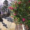 江ノ電 龍口寺の山茶花