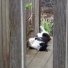 今日の黒猫モモ&白黒猫ナナの動画ー531