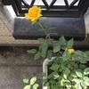 花の手入れと初筍を煮る