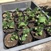 エダマメの初生葉が出揃いました。いつ定植しようかなぁ