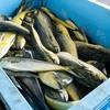 2021年9月11日 小浜漁港 お魚情報
