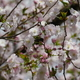 樹木公園130品種の桜(後編)