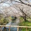 【マラニック】今井の桜/白丸ダム
