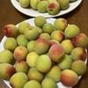 今年は少し遅い梅仕事。梅シロップは「冷凍させた梅」で上手に漬かります!