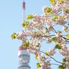 さくらちゃんと東京タワー