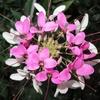 美しくも愛らしい「クレオメ」が咲き誇っているよ!