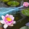 睡蓮の花と金魚の産卵(まだまだ産むよ!、動画有り)