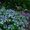 京都・洛南 - 六孫王神社の紫陽花