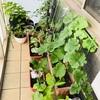 【ベランダ菜園】ベランダがプチ農園。丸ナスを追加しました。