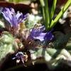 シソ科の花と公園のキランソウ
