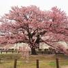 向島小学校蓬莱桜と走行距離42万㎞突破