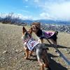松本市弘法山2019・3月桜☆ワンコと信州ぶらり旅
