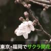 【桜開花】本日3月21日(春分の日)に東京と福岡で桜の開花宣言!満開は来週末(30・31日)辺りか!?