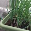 ネギのプランター栽培 栽培記録と収穫量
