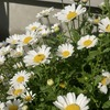 こぼれ種も加わった今年のノースポール! 手間いらずで冬の花壇が賑わう!