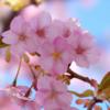 【親子でチャレンジ】〜サクラの開花について考える〜