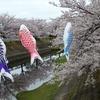満開の桜と鯉のぼり^^