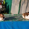 タイ猫が気持ちよさそうに日向ぼっこをしています。