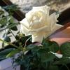 恐怖!オオスズメバチとランデブー~挿し木のバラが開花しました編~