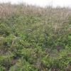 ハマエンドウの咲く海辺