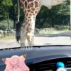 【ポケモンGO】富士サファリパークのサファリコースでやってみました【自粛要請出てました( ̄▽ ̄;)】