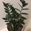 日常にある幸せ001-植物と暮すこと・ザミオクルカス