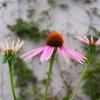 茴香の花が咲いていた