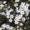 満開のゆきやなぎの花に癒される♡