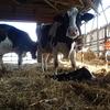 乳牛の世界も少子化で悩む?!:初妊牛の市場価格の暴騰