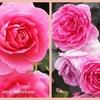 宮崎青島こどものくにローズガーデン🌹それでもって薔薇三昧