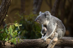 コアラの赤ちゃんと人気のイケメンゴリラ、東山動植物園は楽しい!