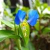 ツユクサ。染め物に使われる仲間もある清楚な花なのに、ゾンビのような一面も。