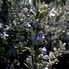 這性ローズマリーの花 2013 冬