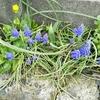 ムスカリ(ブドウみたいな花)