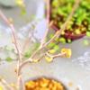 大文字草とヒメシャラと、春を迎えて成長中