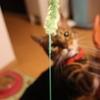 猫ジャラシ。