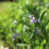 薄紫の松葉雲蘭、今年も。