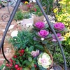 葉牡丹の寄せ植え(#^_^#)