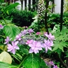 6月下旬の紫陽花たち