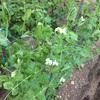 グリーンピースの花
