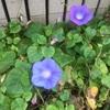この時期にも朝顔は咲くんです。夏から秋で見ごろの花。