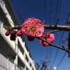 空と梅の花のコントラスト