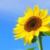夏の花はやっぱり向日葵 塩井成留実
