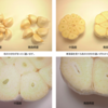 青森県産にんにくの特徴は?福地ホワイト種について調べてみました。