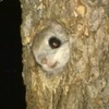 森の妖精エゾモモンガ.得意技は,滑空.木から木へと自由自在.飛距離は最大で100メートル以上です.あらゆる物が凍てつく冬.エゾモモンガは一致団結.仲間同士で身を寄せ合い厳しい寒さをしのぎます. NHKBS「北海道サロベツ原野 エゾモモンガ 凍(い)てつく森を生きる」