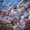 桜の写真が出てきたので