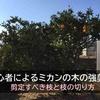 【体験談】初心者がミカンの木を強剪定で切り詰めた -剪定すべき枝と枝の切り方を解説-