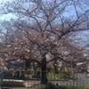 桜情報 (4th Apr 2017)